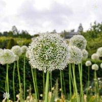 Allium Mount Everest Size:18/20 pack of 2 bulbs