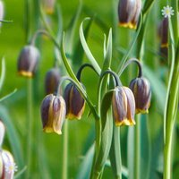 Fritillaria uva-vulpis Size:5/6 pack of 50 bulbs