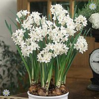 Narcissi Paperwhite (Indoor) Size 14/15 - pack of 5 bulbs