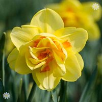 Daffodil Tahiti Size:10/12 pack of 12 bulbs