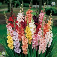 Gladioli Bulbs mixed colours - pack x 100 bulbs