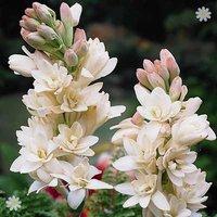 Polianthes tuberosa (Tuberose) - pack x 10