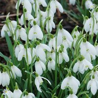 Snowdrops (Single flowered) - pack of 50 in the green