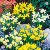 Short Mixed Daffodils - Pack of 100 Bulbs