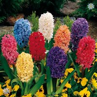 Value Hyacinth Pack - 12 bulbs Size 14/15