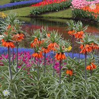 Fritillaria (Crown Imperial) Orange Bulbs Size: 20/22 - pack of 2