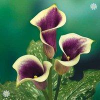 Calla Lily 'Picasso' (Zantedeschia) - pack of 3 bulbs