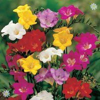 Bumper Pack of 100 Heat Treated Freesia corms