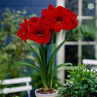 Red Amaryllis Bulb 26/28cm with Ceramic Pot