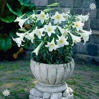 Premium Longiflorum Lily