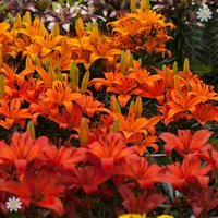 Asiatic Lilies 'Fruit Salad' shades x 20 bulbs