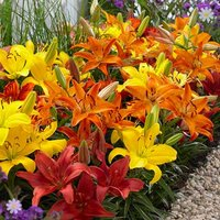 Carpet Lilies Flame Mix - pk of 10 bulbs size 12/14