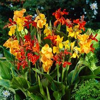 Exotic Canna tubers - pack of 5 Tall Mix