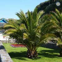 Pair of Hardy Canary Island Date Palm trees 80-100cm tall