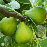 Pair of Hardy Standard Fig Trees 1.2M tall in 5L pots