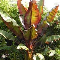 Ensete 'Maurelii (Red Abysinnian Banana) plant 70cm tall