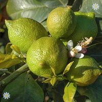 Large Lime tree in 6.5L pot