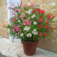 New Oleander Tricolour plant - 3 colours in one 19cm pot