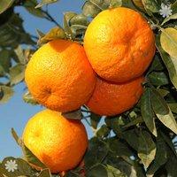 Pair of Large Orange tree in 6.5L pot