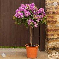Bougainvillea 'Alexandra Pink' standard 90cm plant