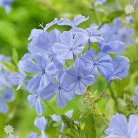 Plumbago auriculata Blue plant in 2L pot 70cm tall