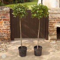 Pair of 1.3M tall Standard Bay Trees