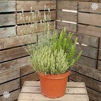 Herb Trio Pot 7.5L - 3 varietiess in 1 pot