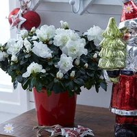 Classic White Azalea 13cm pot