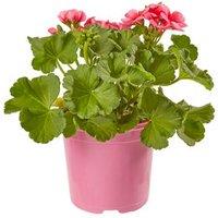 Geranium Pretty Little Summer Bedding plant  13cm Pot  Pack