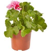 Geranium Smokey Eye Summer Bedding plant  13cm Pot  Pack of