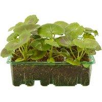 9 cell Geranium Summer Sorbet Summer Bedding plant  Pack of