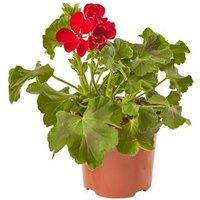 Geranium Calliope Dark Red Summer Bedding plant  13cm Pot  P