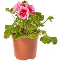 Geranium Calliope Summer Bedding plant  13cm Pot  Pack of 4