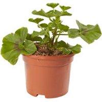 Geranium Josina Summer Bedding plant  10.5cm Pot  Pack of 6