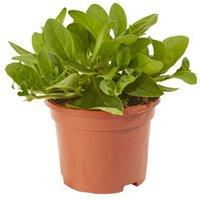 Petunia Trailing Summer Bedding plant  10.5cm Pot  Pack of 6