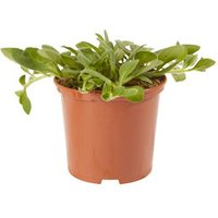 Petunia Trailing Rose Star Summer Bedding plant  10.5cm Pot