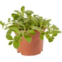 Petunia Trailing White Summer Bedding plant  10.5cm Pot  Pac