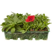 6 cell Petunia Trailing Surfina Summer Bedding plant  Pack o