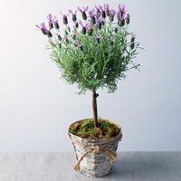Lavender Plant - Flowers Gifts