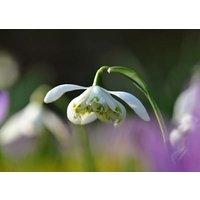 Galanthus Nivalis F  Pleniflorus Flore Pleno Double Snowdrop Bulbs 20   10 FREE bulbs