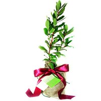 Strawberry Tree - Strawberry Gifts