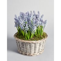 Muscari Basket House Plant