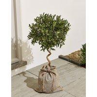 Garden Spiralled Olive Tree