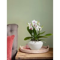 Miniature Orchid Planter (Delivery from 10th June 2020)