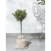 Garden Olive Tree