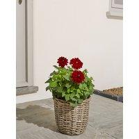 Dahlia Flower Planter