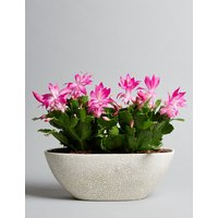 Pink Christmas Cactus House Plant