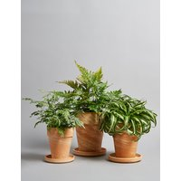 Fern Plant Terracotta Trio (Available for delivery from 29th Aug 2018)