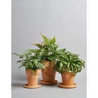 Fern Plant Terracotta Trio