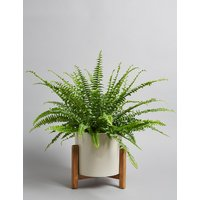 Fern House Plant on Stand (Available for delivery from 29th Aug 2018)